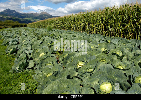 white cabbage (Brassica oleracea var. capitata f. alba), cabbage field with maize field in the background - Stock Photo