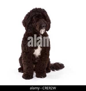 Cockerpoo male dog at 1 year old. Cross between a Cocker Spaniel and a Poodle. - Stock Photo