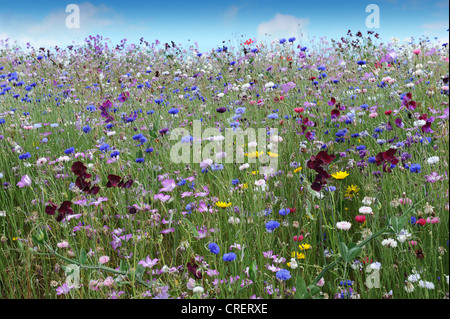 Cornflowers and other wild flowers - Stock Photo