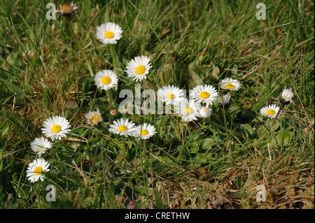 Ground level view of flowering daisy (Bellis perennis) in a garden lawn - Stock Photo