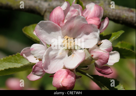 King flower and buds at pink bud stage on an apple tree in spring - Stock Photo