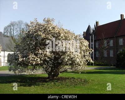 star magnolia (Magnolia stellata), blooming shrub in the palace garden of Herten, Germany, North Rhine-Westphalia, - Stock Photo