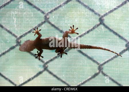 Tarente on a window - Stock Photo