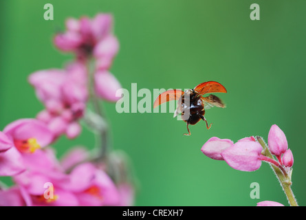 Spotless Lady Beetle (Cycloneda munda), adult in flight, Dinero, Lake Corpus Christi, South Texas, USA - Stock Photo