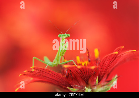 Praying Mantis (Mantis sp.), young perched on Indian Blanket/Fire Wheel (Gaillardia pulchella), Texas, Lake Corpus - Stock Photo
