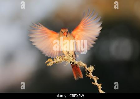Northern Cardinal (Cardinalis cardinalis), female landing, Dinero, Lake Corpus Christi, South Texas, USA - Stock Photo
