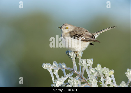 Northern Mockingbird (Mimus polyglottos), adult perched on ice covered branch, Dinero, Lake Corpus Christi, South - Stock Photo