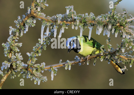 Green Jay (Cyanocorax yncas), adult on ice covered branch, Dinero, Lake Corpus Christi, South Texas, USA - Stock Photo
