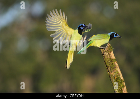 Green Jay (Cyanocorax yncas), pair, Dinero, Lake Corpus Christi, South Texas, USA - Stock Photo