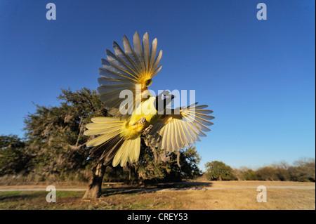 Green Jay (Cyanocorax yncas), adult in flight, Dinero, Lake Corpus Christi, South Texas, USA - Stock Photo