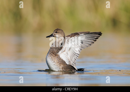 Gadwall (Anas strepera), male flapping wings, Dinero, Lake Corpus Christi, South Texas, USA - Stock Photo