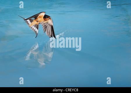Barn Swallow (Hirundo rustica), adult male bathing in pond, Dinero, Lake Corpus Christi, South Texas, USA - Stock Photo