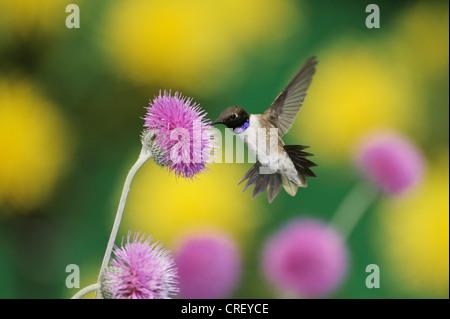 Black-chinned Hummingbird (Archilochus alexandri), male feeding on Texas thistle (Cirsium texanum), Texas, Lake - Stock Photo