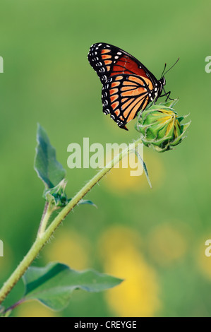 Viceroy Butterfly (Limenitis archippus), adult perched on sunflower bud, Dinero, Lake Corpus Christi, South Texas, - Stock Photo