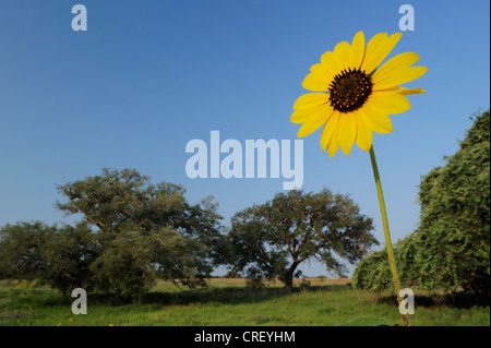 Common Sunflower (Helianthus annuus), blooming in field, Dinero, Lake Corpus Christi, South Texas, USA - Stock Photo
