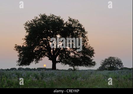 Live Oak (Quercus virginiana), trees at sunrise, Dinero, Lake Corpus Christi, South Texas, USA - Stock Photo