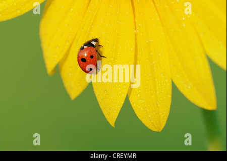 Seven-spotted Ladybug (Coccinella septempunctata), adult perched on dew covered sunflower, Dinero, Lake Corpus Christi, - Stock Photo