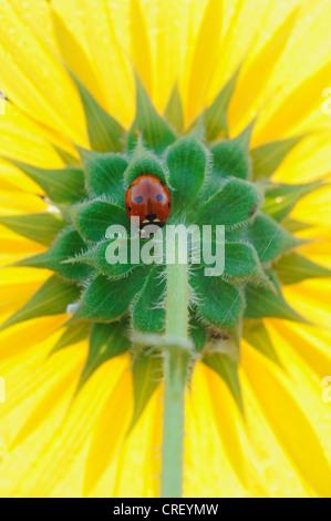 Seven-spotted Ladybug (Coccinella septempunctata), adult perched on sunflower, Dinero, Lake Corpus Christi, South - Stock Photo