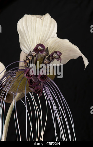 Tacca integrifolia or white bat flower on black background.  Also knowns as cats whiskers. - Stock Photo