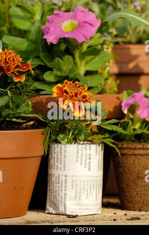 French marigold (Tagetes patula), young plants, tagetes in pots - Stock Photo