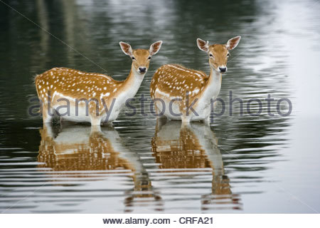 Fallow Deer Cervus dama Does bathing in lake - Stock Photo