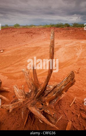 Dry tree in Sarigua national park (desert), Herrera province, Republic of Panama. - Stock Photo