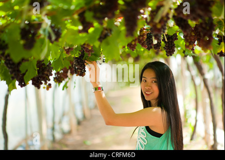 Beautiful Asia Woman picking grapes in vinery. - Stock Photo