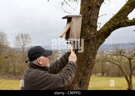 old man fitting nest box at fruit tree trunk, Germany - Stock Photo