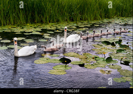 Swans and their cygnets on the old canal at Newport, Shropshire - Stock Photo