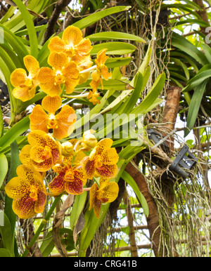 Thailand Orchid at the Royal Park, Chiang Mai Thailand. - Stock Photo