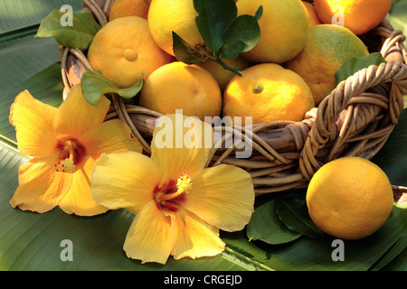 Basket of freshly picked oranges in a wicker basket on a palm leaf - Stock Photo