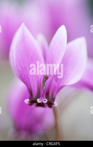 Cyclamen hederifolium 'Ruby glow', Close up of a pink flower. - Stock Photo