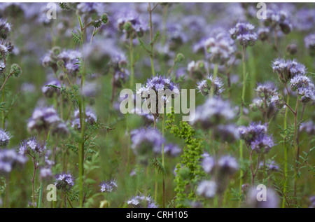 Phacelia tanacetifolia, Scorpion Weed, abundant purple flower clusters on long green stems. - Stock Photo