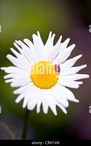 Bellis perennis, Daisy, Lawn daisy - Stock Photo