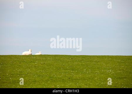 sheep lying on a dyke, Buesum, Dithmarschen district, Schleswig-Holstein, Germany, Europe - Stock Photo