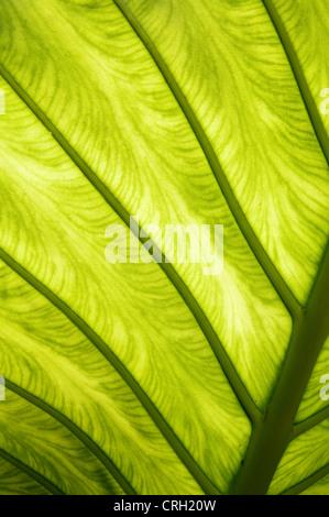 Xanthosoma 'Lime Zinger', Elephant ear - Stock Photo