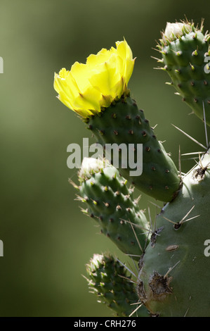Opuntia robusta, Cactus, wheel cactus - Stock Photo