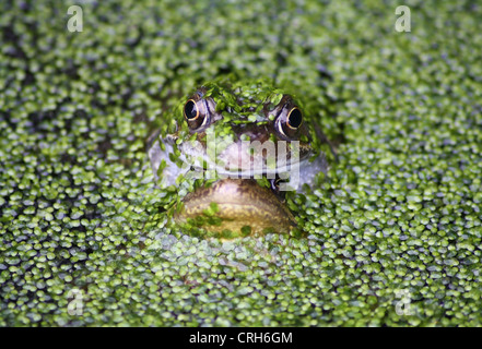 Two frogs mating in garden pond covered in common duckweed - Stock Photo