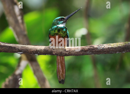 Rufous-tailed Jacamar (Galbula ruficauda) in rainforest. Corcovado National Park, Osa Peninsula, Costa Rica. March - Stock Photo