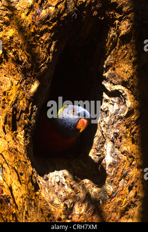 Rainbow Lorikeet (Trichoglossus haematodus) - Stock Photo