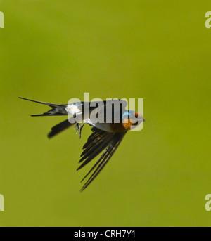 Welcome Swallow (Hirundo neoxena) - Stock Photo