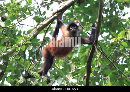 Central American Spider Monkey (Ateles geoffroyi). Corcovado National Park, Osa Peninsula, Costa Rica. March 2012. - Stock Photo