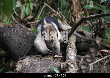 Northern Tamandua or Collared Anteater (Tamandua mexicana) eating ants. Corcovado National Park, Osa Peninsula, - Stock Photo