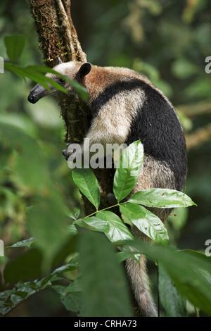 Northern Tamandua or Collared Anteater (Tamandua mexicana) in rainforest. Corcovado National Park, Osa Peninsula, - Stock Photo