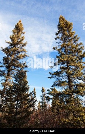 Black spruce trees growing in the tough bog environment of Northern Minnesota - Big Bog State Recreation Area. - Stock Photo