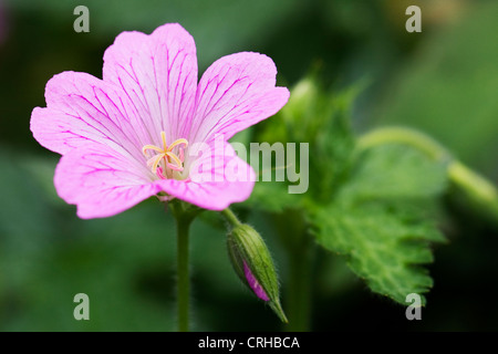 Geranium x oxonianum 'Wargrave pink' in the garden. - Stock Photo