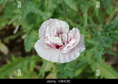 Common poppy, Latin Papaver Rhoeas - Stock Photo