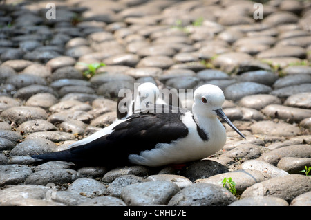 birds Black-Winged Stilt - Stock Photo