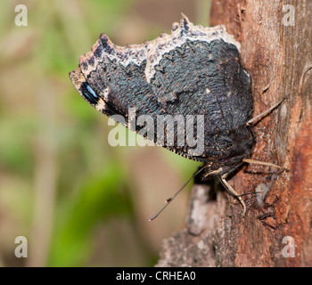 Ventral view of Mourning Cloak, Nymphalis antiopa butterfly, feeding on tree sap - Stock Photo