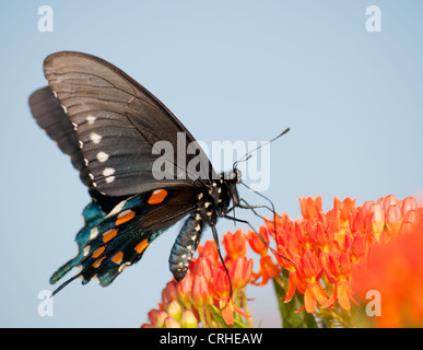 Green Swallowtail butterfly on orange Butterflyweed against blue sky - Stock Photo